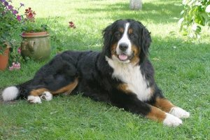 BerneseMountainDog