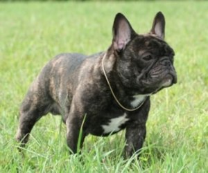 french_bulldog