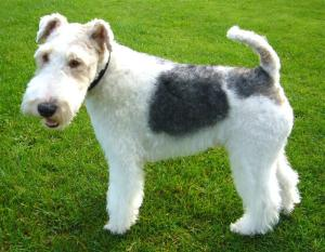 White Fox Terrier